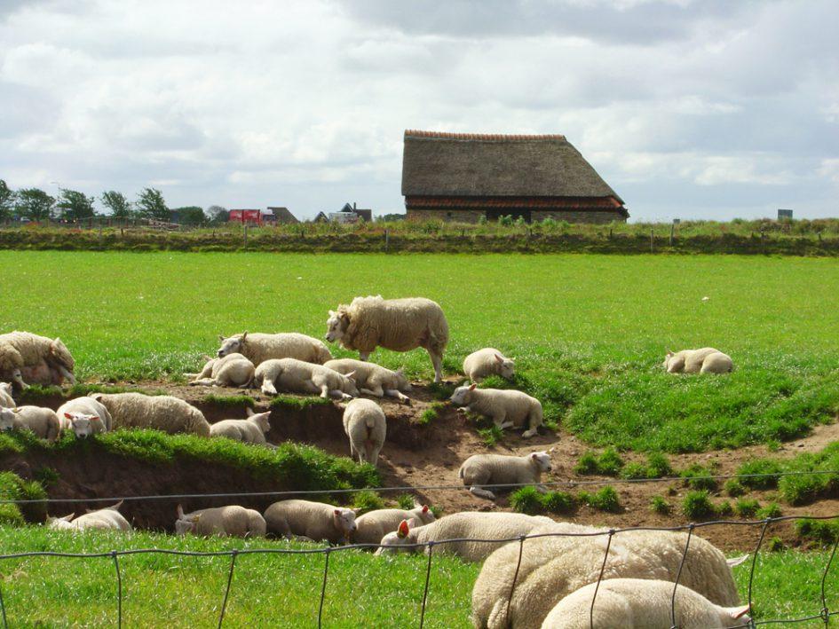 Texels lamsvlees Boschma