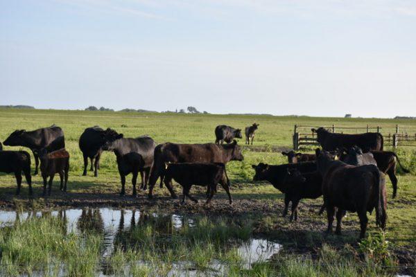 Frisian Angus rundvlees