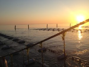 Mosselperceel van Rival bv op de Waddenzee